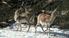 Persian gazelle (Gazella subgutturoza) two Stock Footage