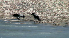 Crow (Corvus corvidae) fighting - stock footage
