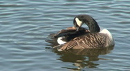 Stock Video Footage of Canada goose (Anatidae anserinae), cleaning one