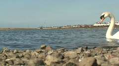 White swan swims past. HD 1080i Stock Footage