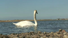 White swan low shot. HD 1080i Stock Footage