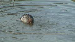 Anas penelope duck - stock footage