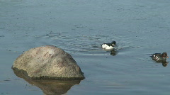 Couple of Anas penelope ducks two Stock Footage