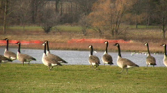 Community of Canadian geese are walking on the grass in a park (High Definition) Stock Footage