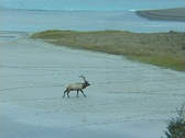 Stock Video Footage of Elk Crossing Sandbar