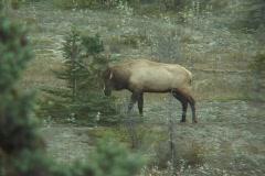 Elk in rut, rubs pine - stock footage