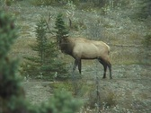 Stock Video Footage of Elk in rut, rubs pine