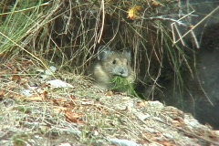Pika with bundle of grass Stock Footage