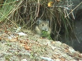 Stock Video Footage of Pika with bundle of grass