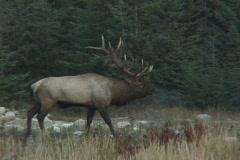 Bugling Bull Elk  Stock Footage