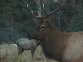 Stock Video Footage of Bull Elk Bugling