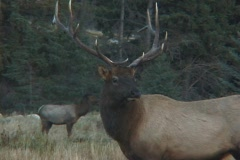 Young Bull Elk Bugles Stock Footage