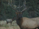 Stock Video Footage of Young Bull Elk Bugles