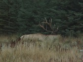Stock Video Footage of Bull Elk and Calf