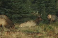Bull Elk Departs Stock Footage