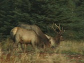 Stock Video Footage of Bull Elk Departs