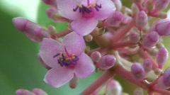 Medinilla speciosa (Melastomataceae) blooming Stock Footage