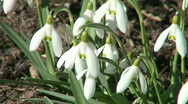 Stock Video Footage of Galanthus nivalis (Amaryllidaceae) blooming