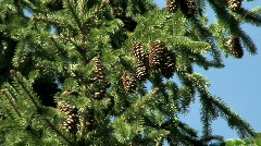 Pine tree cones one - stock footage