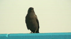 Black Crow on a rail, with sound. HD 1080i Stock Footage