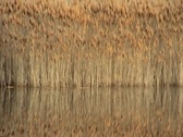 Duck reeds reflection on pond Stock Footage