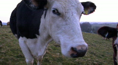 cow lick with sound - stock footage