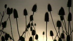 Dry weeds are gently swaying amidst the sun (High Definition) - stock footage