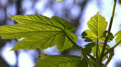 Sunlit leaves in & out of focus 02 Stock Footage