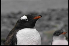 Pinguins Family Stock Footage
