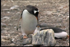 Feedeing the young pinguin Stock Footage