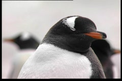 Pinguin 4 - stock footage