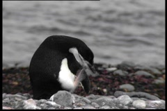 Scratching pinguin - stock footage