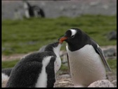 Stock Video Footage of Feeding young pinguin
