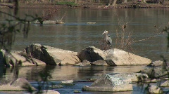 Great Falls  VA - Grey Heron Grooms Stock Footage