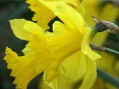 Stock Video Footage of Yellow narcissus