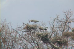 Blue Heron Rookery 01 Stock Footage