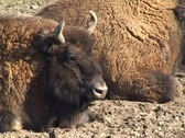 Stock Video Footage of European Bison (Bison bonasus)