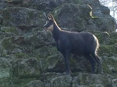 Stock Video Footage of Chamois (Rupicapra rupicapra)