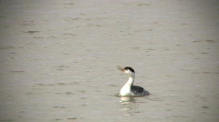 Clark's Grebe Call Stock Footage