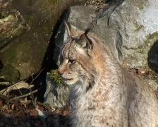 Eurasian Lynx (Lynx lynx) Stock Footage