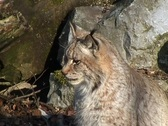 Stock Video Footage of Eurasian Lynx (Lynx lynx)
