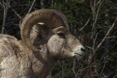 Rocky Mountain Big Horn Sheep  Stock Footage