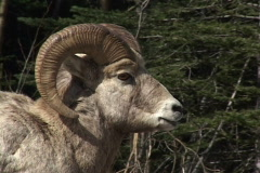 Rocky Mountain Big Horn Sheep 1 Stock Footage