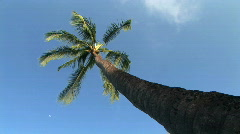 Tall Palm Tree Against Blue Sky on the Big Island of Hawaii Stock Footage