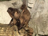 Stock Video Footage of Gelada Baboons (Theropithecus gelada)