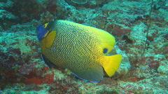 Imperator fish Stock Footage