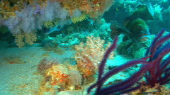 Soft coral reef with lipfish Stock Footage