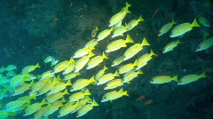 Snapper shoal Stock Footage