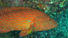 Red grouper at cleaning station Stock Footage