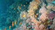 Stock Video Footage of soft coral reef